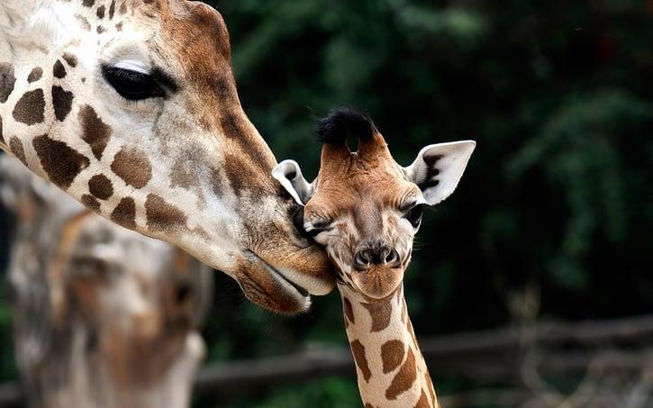 Baby Giraffe niedlich